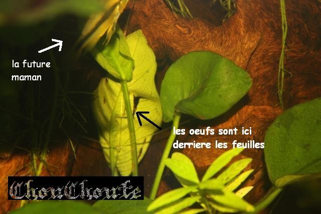 apistogramma sp Mamoré 090710030150713844041983
