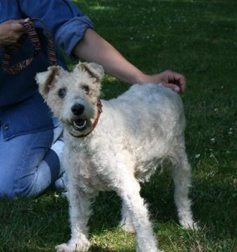 NINIE femelle fox terrier 10 ans aveugle SPA DOUAI 59 - ADOPTEE - 09071310411836974063160