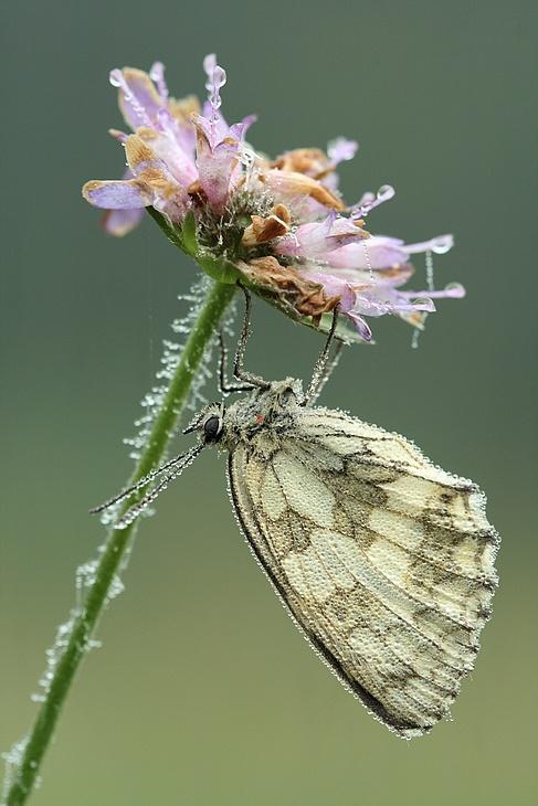 Série sur les papillons demi-deuils + fin de série 090717010125281864084190