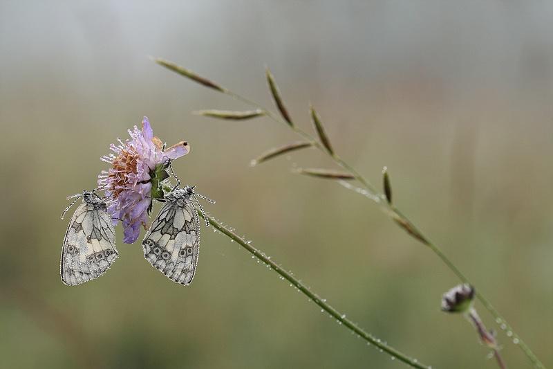 Série sur les papillons demi-deuils + fin de série 090717012340281864084251