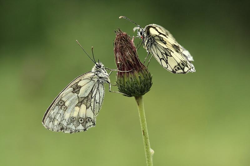 Série sur les papillons demi-deuils + fin de série 090719111909281864095525