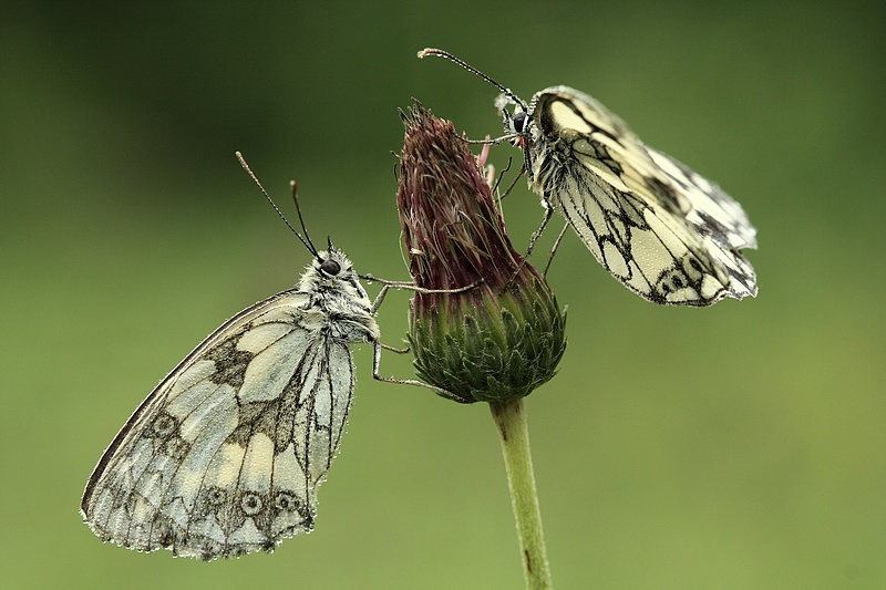 Série sur les papillons demi-deuils + fin de série 090719111909281864095526