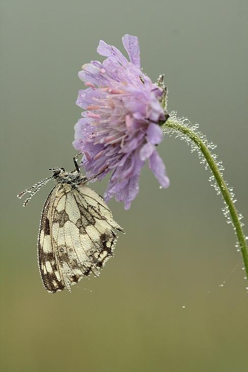 Série sur les papillons demi-deuils + fin de série 090719112801281864095542