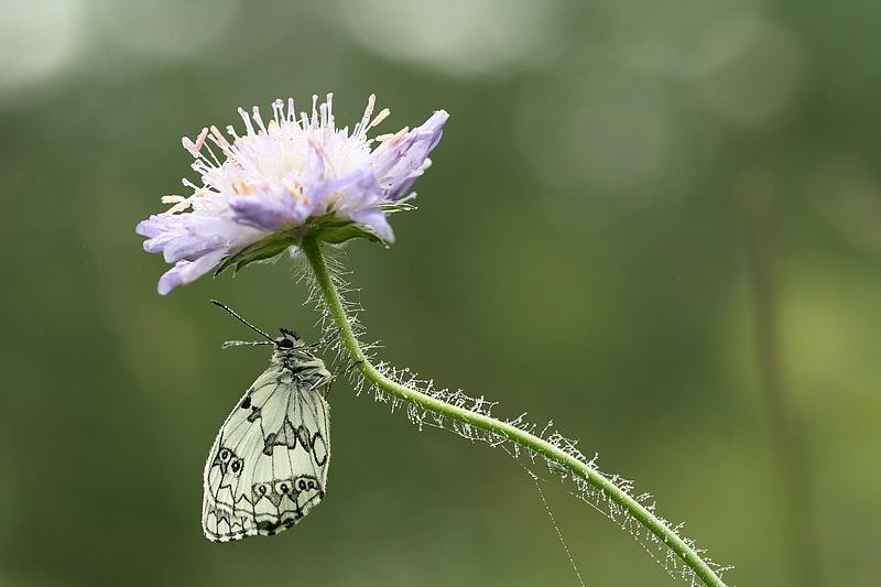 Série sur les papillons demi-deuils + fin de série 090721012346281864108733