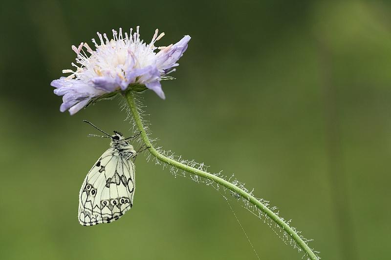 Série sur les papillons demi-deuils + fin de série 090721012346281864108734