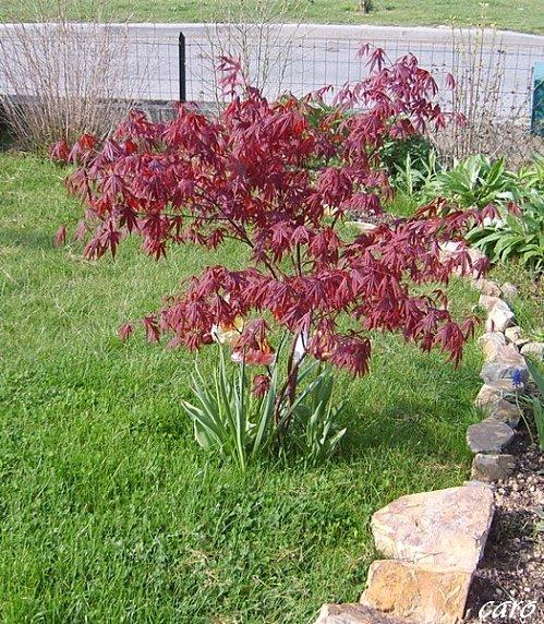 arbre ou arbuste pourpre au jardin forum de jardinage. Black Bedroom Furniture Sets. Home Design Ideas