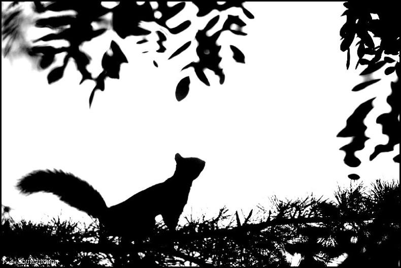 Ecureuil roux d'Europe (Sciurus vulgaris) photographie animalière par Pierre BOURGUIGNON, photographe animalier, Belgique