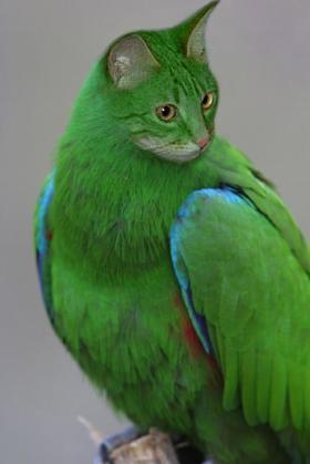 L'oiseau chat, magnifique ! dans Animaux insolites 091227105418133815129706