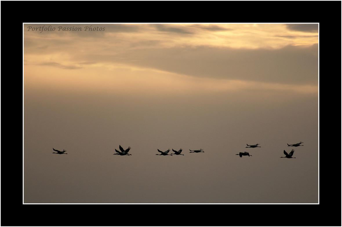 Lac du Der (Haute Marne) à l'aube... Vol de grues cendrées